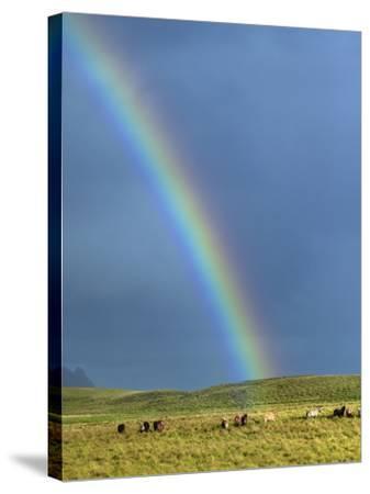 Rainbow Above Icelandic Horses-Babak Tafreshi-Stretched Canvas Print