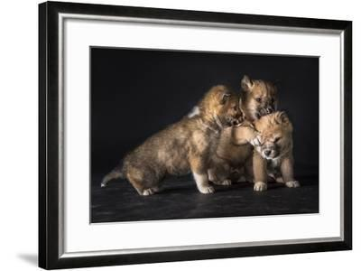 Three 6-Week-Old Dingo Puppies Wrestle Each Other at a Research Center-Doug Gimesy-Framed Photographic Print