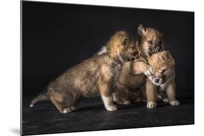 Three 6-Week-Old Dingo Puppies Wrestle Each Other at a Research Center-Doug Gimesy-Mounted Photographic Print