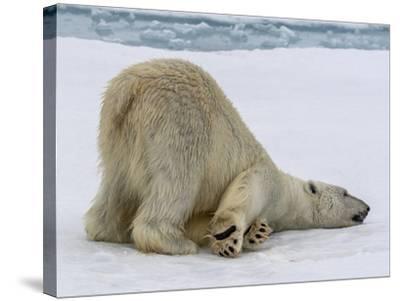 A Lone Polar Bear on Ice Floe-Jay Dickman-Stretched Canvas Print