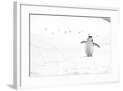 A Chinstrap Penguin Walks Towards a Nesting Site for the Breeding Season-Doug Gimesy-Framed Photographic Print