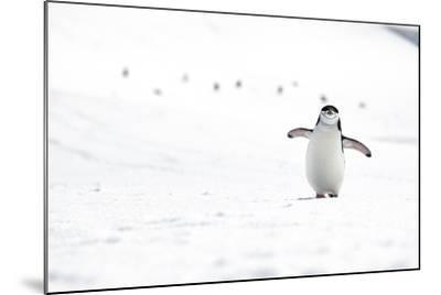 A Chinstrap Penguin Walks Towards a Nesting Site for the Breeding Season-Doug Gimesy-Mounted Photographic Print