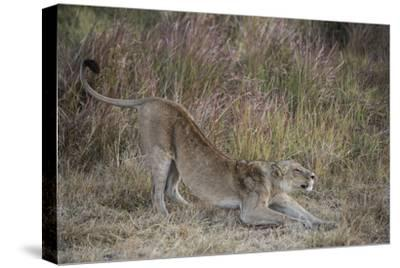 A Lion on Chief's Island in Botswana's Okavango Delta-Cory Richards-Stretched Canvas Print