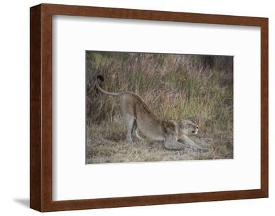 A Lion on Chief's Island in Botswana's Okavango Delta-Cory Richards-Framed Photographic Print