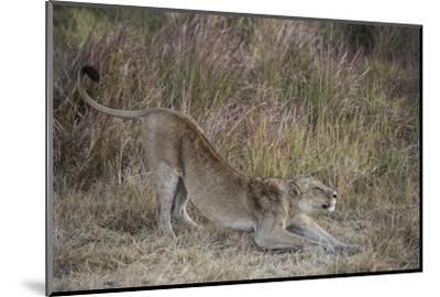 A Lion on Chief's Island in Botswana's Okavango Delta-Cory Richards-Mounted Photographic Print