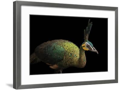 A Hen Indochinese Green Peafowl, Pavo Muticus Imperator-Joel Sartore-Framed Photographic Print