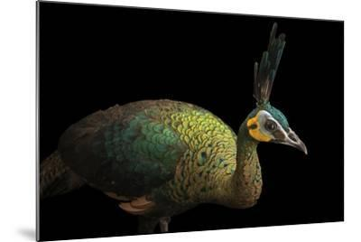 A Hen Indochinese Green Peafowl, Pavo Muticus Imperator-Joel Sartore-Mounted Photographic Print