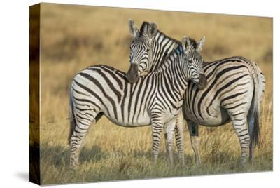 Zebras in the Grasslands of Botswana's Chitabe Concession Area-Cory Richards-Stretched Canvas Print