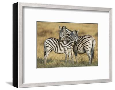 Zebras in the Grasslands of Botswana's Chitabe Concession Area-Cory Richards-Framed Photographic Print