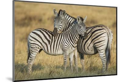 Zebras in the Grasslands of Botswana's Chitabe Concession Area-Cory Richards-Mounted Photographic Print