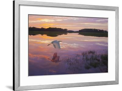 A Great Egret Skims the Water Surface in Early Morning Sunrise Light with Reflection-Richard Seeley-Framed Photographic Print