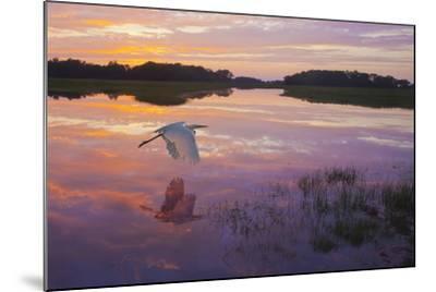 A Great Egret Skims the Water Surface in Early Morning Sunrise Light with Reflection-Richard Seeley-Mounted Photographic Print