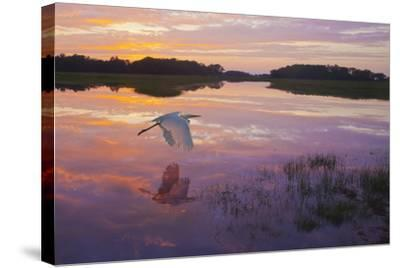 A Great Egret Skims the Water Surface in Early Morning Sunrise Light with Reflection-Richard Seeley-Stretched Canvas Print