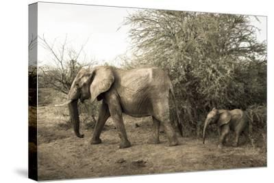 A Mother and Baby African Elephant, Loxodonta Africana, in Samburu National Reserve-Robin Moore-Stretched Canvas Print