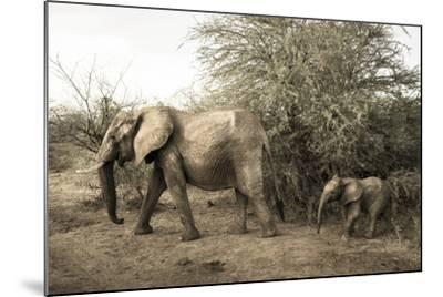 A Mother and Baby African Elephant, Loxodonta Africana, in Samburu National Reserve-Robin Moore-Mounted Photographic Print