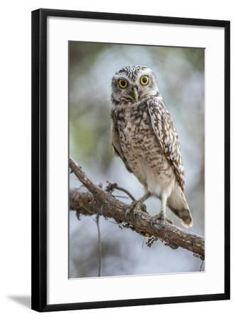 Portrait of a Burrowing Owl, Athene Cunicularia, Perching on a Branch-Javier Aznar-Framed Photographic Print