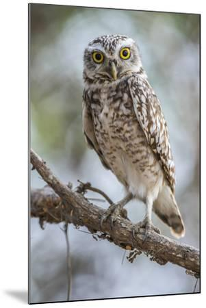 Portrait of a Burrowing Owl, Athene Cunicularia, Perching on a Branch-Javier Aznar-Mounted Photographic Print