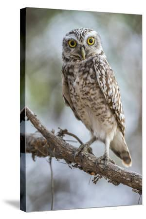 Portrait of a Burrowing Owl, Athene Cunicularia, Perching on a Branch-Javier Aznar-Stretched Canvas Print