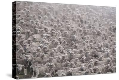 Herd of Sheep from South Island-Marcin Dobas-Stretched Canvas Print