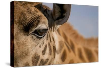 Close Up of an Endangered Rothschild Giraffe, Giraffa Camelopardalis Rothschildi, Eye-Robin Moore-Stretched Canvas Print