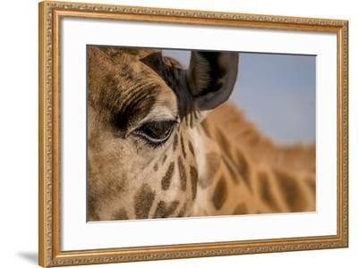 Close Up of an Endangered Rothschild Giraffe, Giraffa Camelopardalis Rothschildi, Eye-Robin Moore-Framed Photographic Print