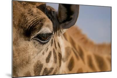 Close Up of an Endangered Rothschild Giraffe, Giraffa Camelopardalis Rothschildi, Eye-Robin Moore-Mounted Photographic Print
