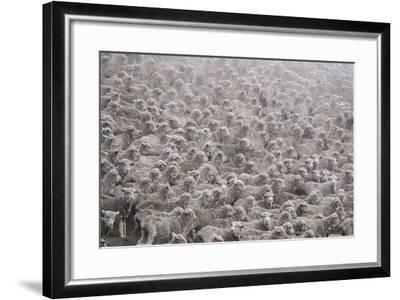 Herd of Sheep from South Island-Marcin Dobas-Framed Photographic Print