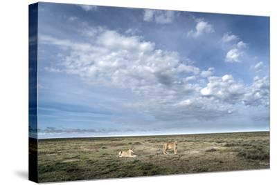Two Lionesses, Panthera Leo, Resting on the Open Plains in Serengeti National Park-Chris Schmid-Stretched Canvas Print
