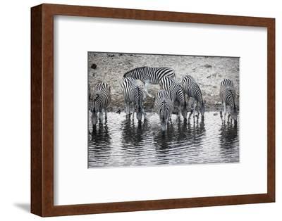 Zebras Drink from the Boteti River in Botswana's Makgadikgadi Pans-Cory Richards-Framed Photographic Print