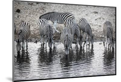 Zebras Drink from the Boteti River in Botswana's Makgadikgadi Pans-Cory Richards-Mounted Photographic Print