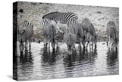 Zebras Drink from the Boteti River in Botswana's Makgadikgadi Pans-Cory Richards-Stretched Canvas Print