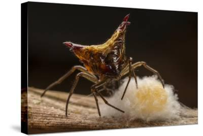 Close Up of a Micrathena Spider Constructing the Egg Sac with Silk-Javier Aznar-Stretched Canvas Print