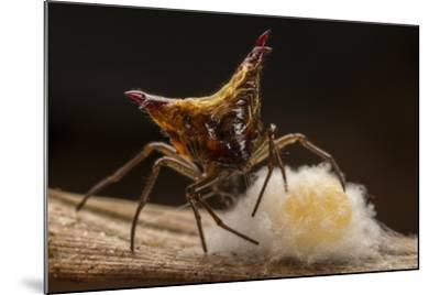 Close Up of a Micrathena Spider Constructing the Egg Sac with Silk-Javier Aznar-Mounted Photographic Print