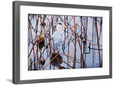 A Heron in a Marsh-Max Lowe-Framed Photographic Print