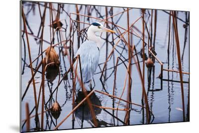 A Heron in a Marsh-Max Lowe-Mounted Photographic Print
