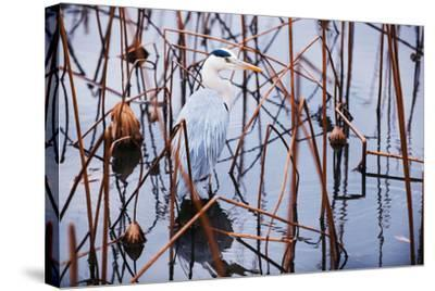 A Heron in a Marsh-Max Lowe-Stretched Canvas Print