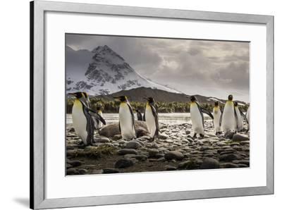 King Penguins Stroll Past an Elephant Seal, Mirounga Angustirostris-Doug Gimesy-Framed Photographic Print