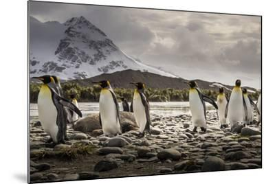 King Penguins Stroll Past an Elephant Seal, Mirounga Angustirostris-Doug Gimesy-Mounted Photographic Print