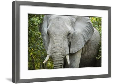 An Elephant in the Okavango Delta-Mark Stone-Framed Photographic Print