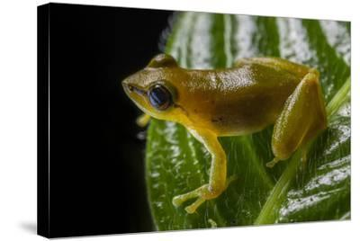 Close Up of a Green Huaorani Rainfrog, Pristimantis Omeviridis-Javier Aznar-Stretched Canvas Print