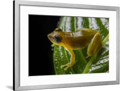 Close Up of a Green Huaorani Rainfrog, Pristimantis Omeviridis-Javier Aznar-Framed Photographic Print
