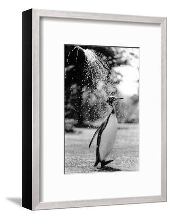 King Penguin Takes a Shower-Associated Newspapers-Framed Photo