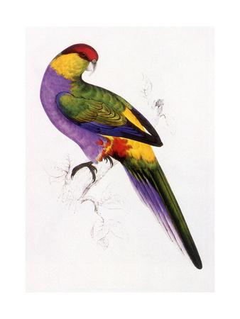 Red-Capped Parrot, Purpureicephalus Spurius-Edward Lear-Framed Giclee Print