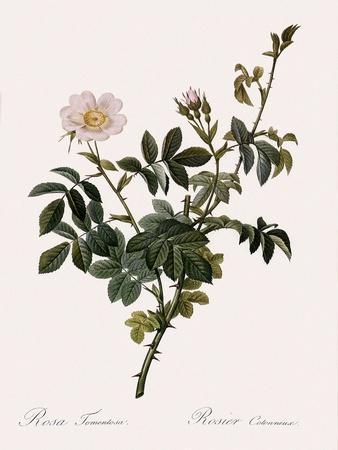 Downy Rose-Pierre Joseph Redoute-Framed Giclee Print