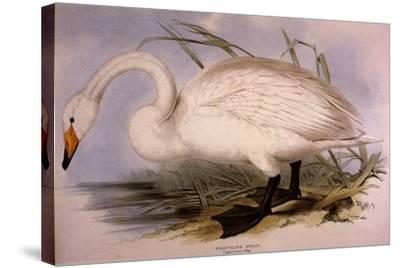 Whooper Swan, Cygnus Cygnus-Edward Lear-Stretched Canvas Print