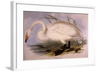 Whooper Swan, Cygnus Cygnus-Edward Lear-Framed Giclee Print