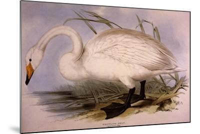 Whooper Swan, Cygnus Cygnus-Edward Lear-Mounted Giclee Print