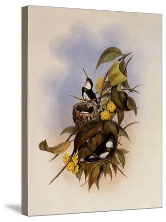 White-Throat, Leucochloris Albicollis-John Gould-Stretched Canvas Print