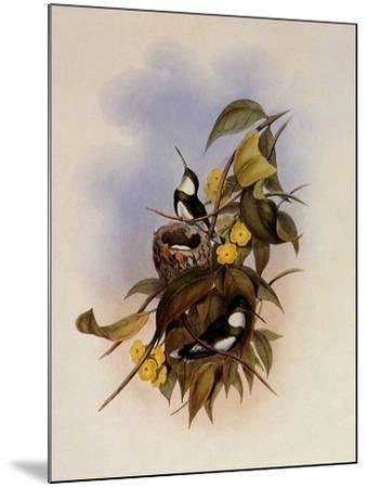 White-Throat, Leucochloris Albicollis-John Gould-Mounted Giclee Print