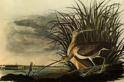 Long-Billed Curlews-John James Audubon-Framed Giclee Print